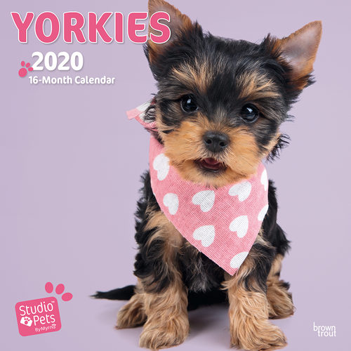 Studio Pets Yorkie Kalender 2020