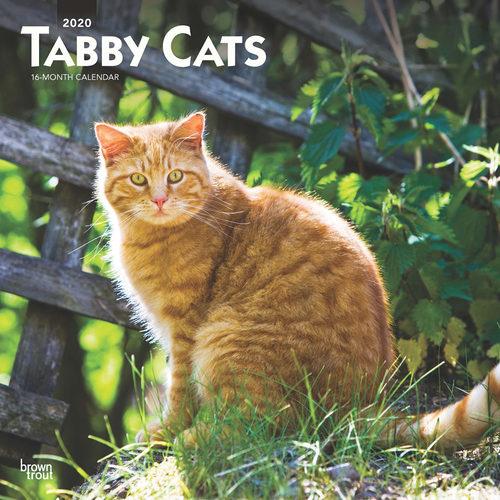 Tabby Cats Calendrier  2020 Chat Tigré