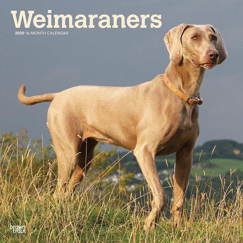 Weimaraners Calendrier 2020 (Braque de Weimar)