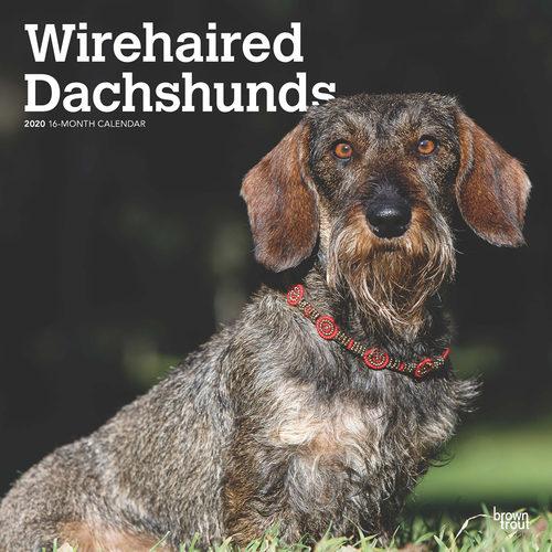 Wirehaired Dachshund Calendrier 2020 (Teckel à Poil Dur)