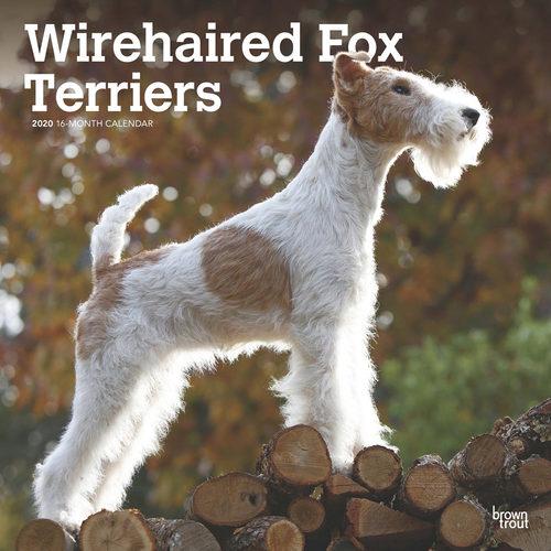 Wirehaired Fox Terriers Calendrier 2020 (Fox-terrier à poil dur)