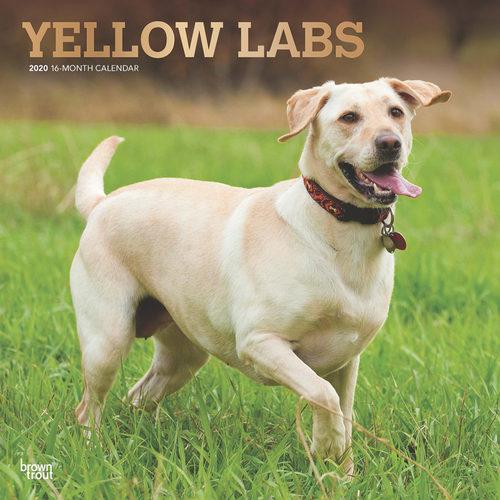 Yellow Lab Retrievers Kalender 2020